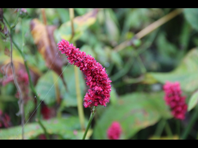 persicaria fat domino