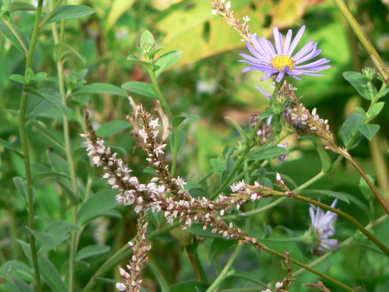 persicaria fat white et aster