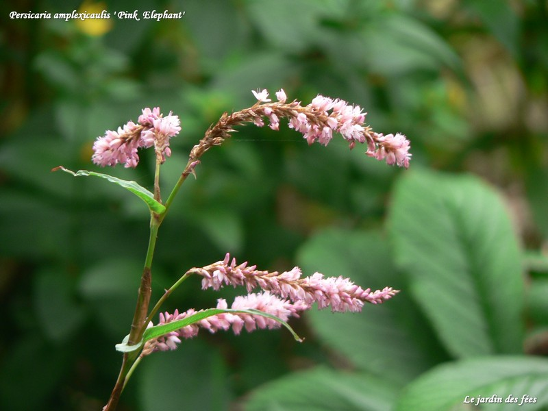 persicaria pink elephant