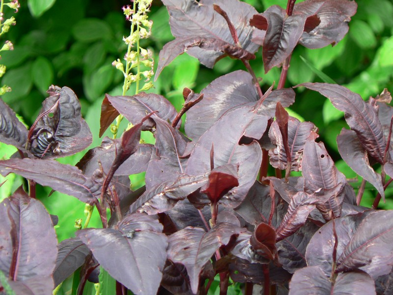 persicaria red dragon
