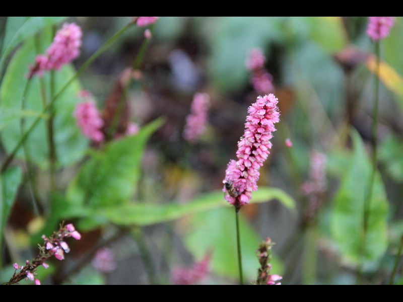 persicaria summer dancer