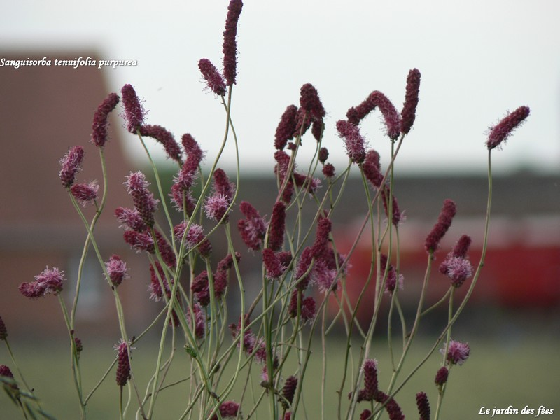 sanguisorba note